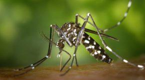 Le moustique tigre en Drôme