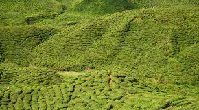 On disait le thé vert de bonne qualité